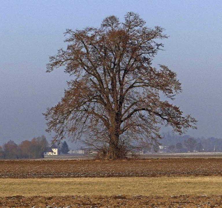 Die Linde, ein Foto vom Januar    Foto: Ekkehard Klem