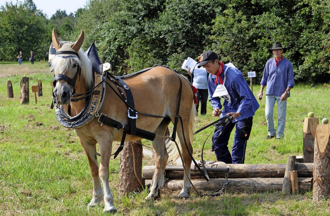 """Gutmütige Tiere: Pferde beim """"Holzrücken""""     Foto: Löhnig"""