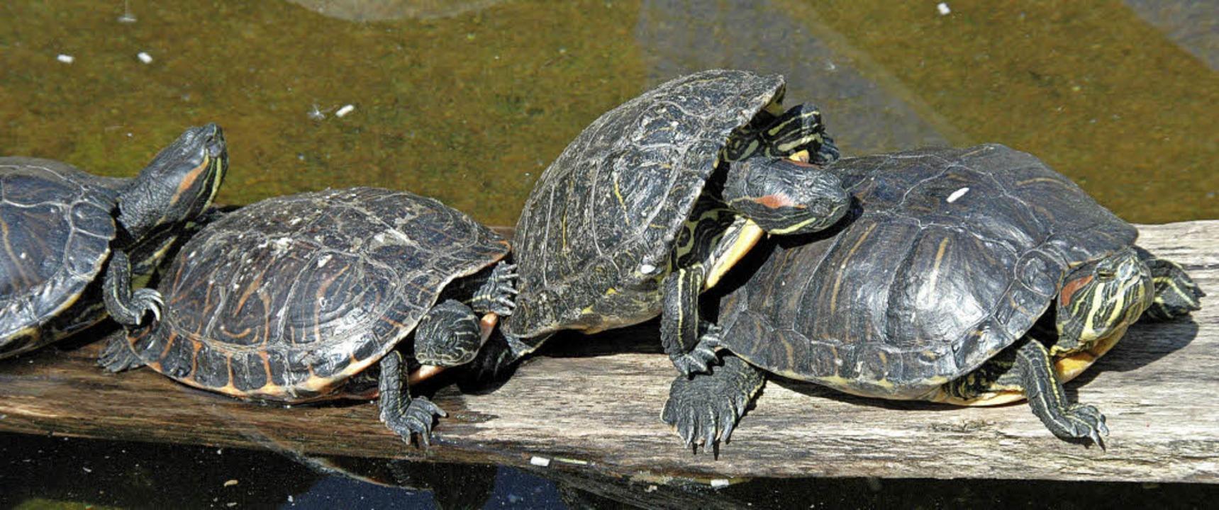 Drängeleien bleiben bei  Schildkröten dank guter Panzerung folgenlos.    Foto: Hubert Bleyer