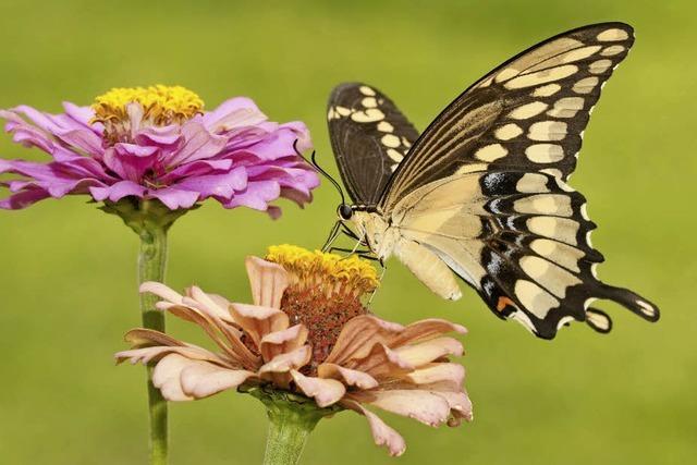 Schmetterlinge werden seltener