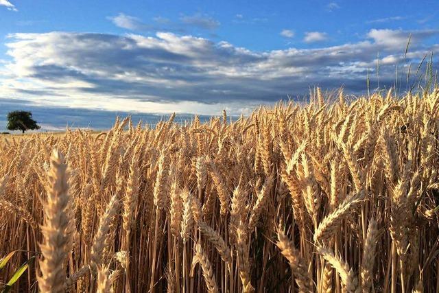 Landwirte im Markgräflerland sind mit der Getreideernte zufrieden
