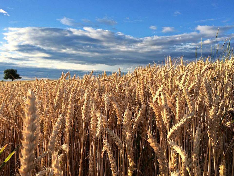 Dem Getreide hat das trockene Wetter i...n - Pilzdruck gab es so gut wie nicht.  | Foto: Jutta Schütz
