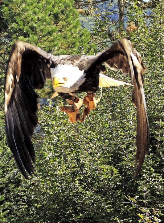 Der Weißkopfseeadler in Aktion.  | Foto: Heiner Fabry