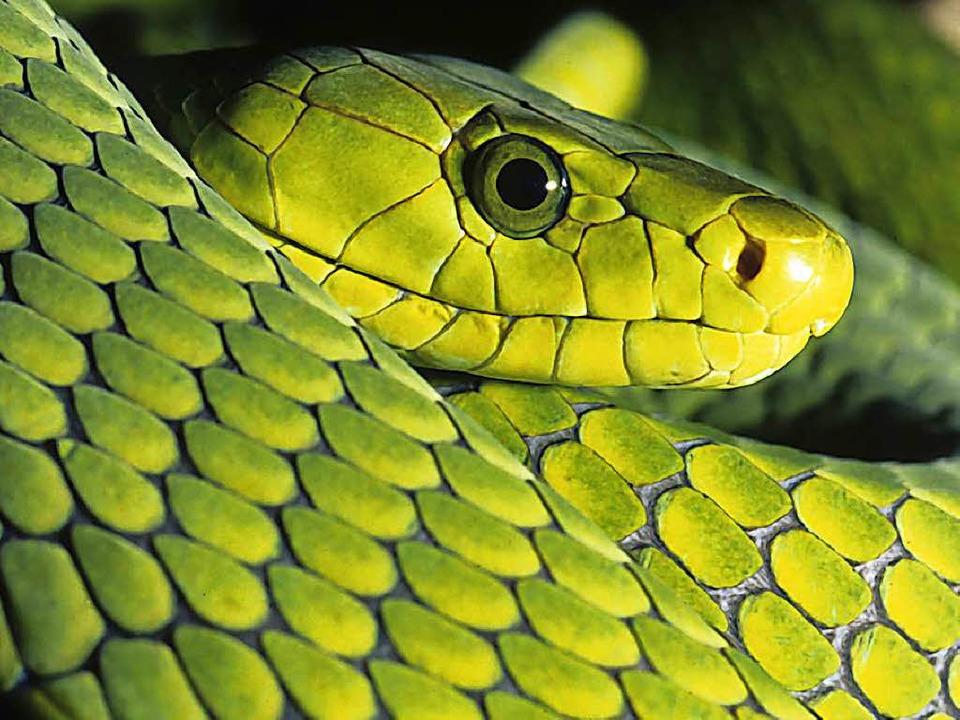 Ein Biss der Grünen Mamba  ist meist t...s sei denn ein Gegengift steht parat.   | Foto: mgkuijpers (Fotolia.com)