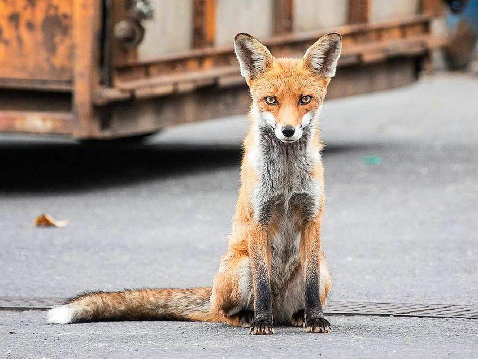 Den Fuchs zieht es auch am Kaiserstuhl immer mehr in Städte und in Hausgärten.  | Foto: imago stock&people