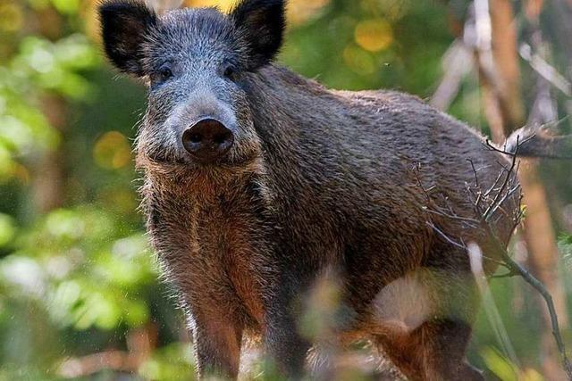Züchter haben Angst vor Afrikanischer Schweinepest