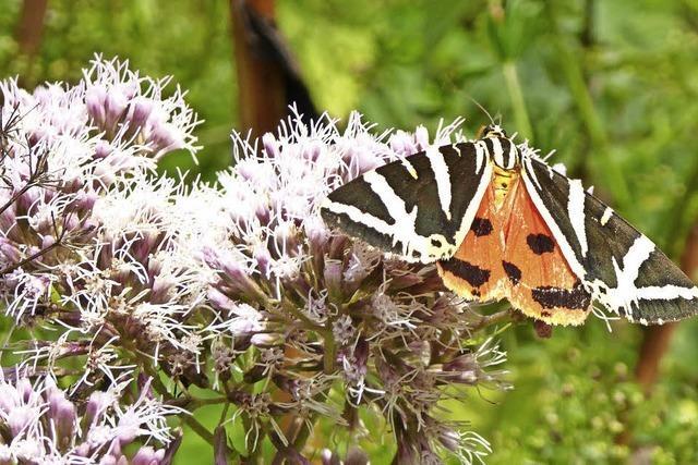 Seltenen Schmetterlingen auf der Spur