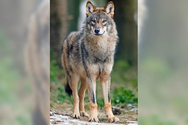Wenn der Wolf zum Problem-Wolf wird