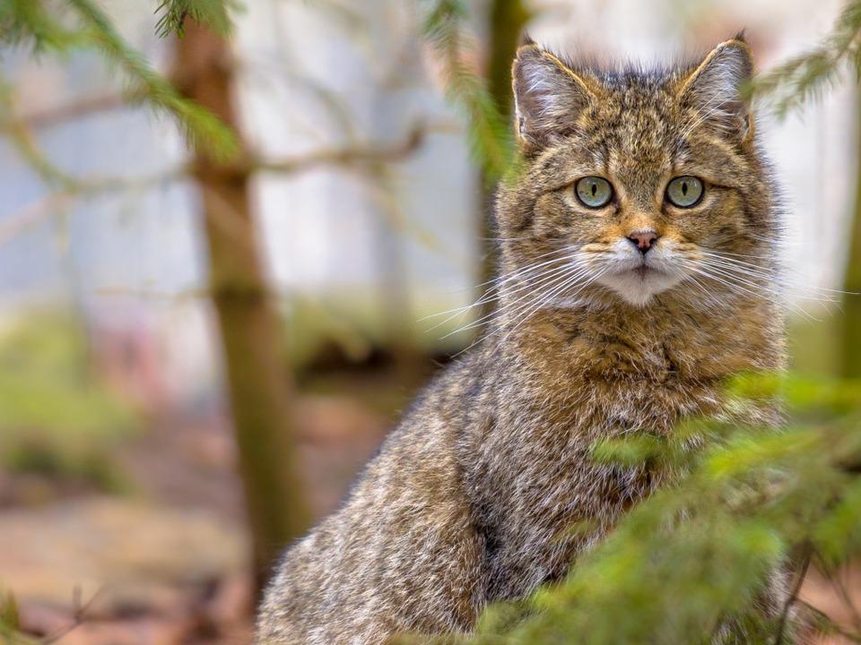 Wildkatzen unterscheiden sich von Hauskatzen durch ihr braunes, dichtes Fell.  | Foto: Rudmer Zwerver