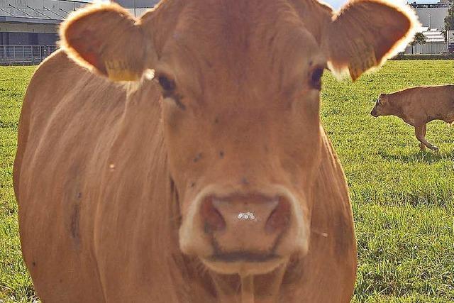 In Wyhlen waren die Kühe los