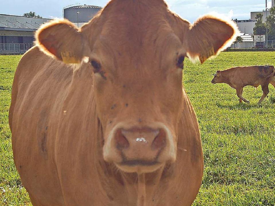 Kühe gehören auf die Weide.  | Foto: Vollmar