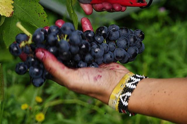 Wie hat die Weinlese im Markgräflerland angefangen?