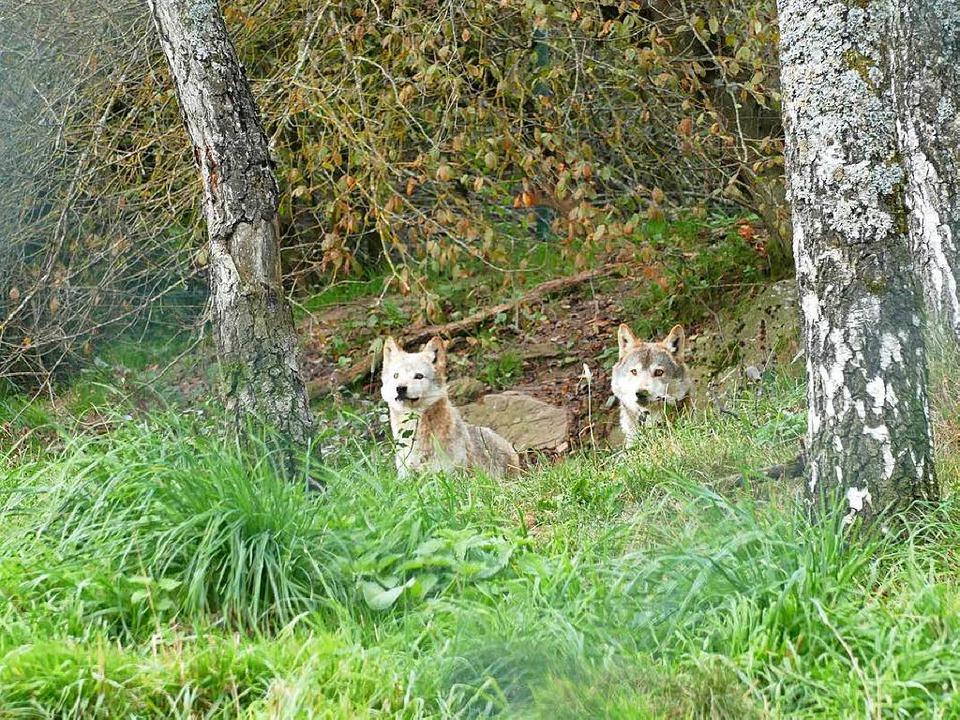 Neugierig beäugen zwei Wölfe vom siche...k aus die Besucher im Schwarzwaldpark.  | Foto: Martin Wunderle