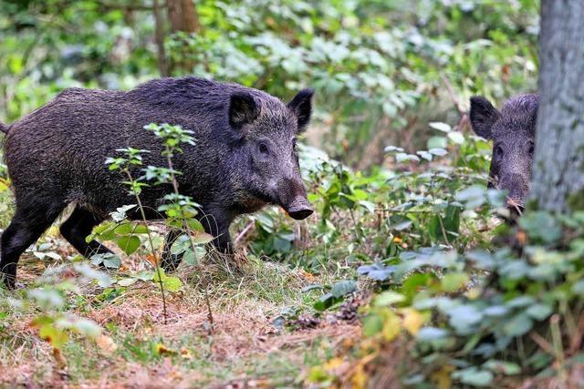 Neun Wildschweine streifen durch Aarauer Altstadt