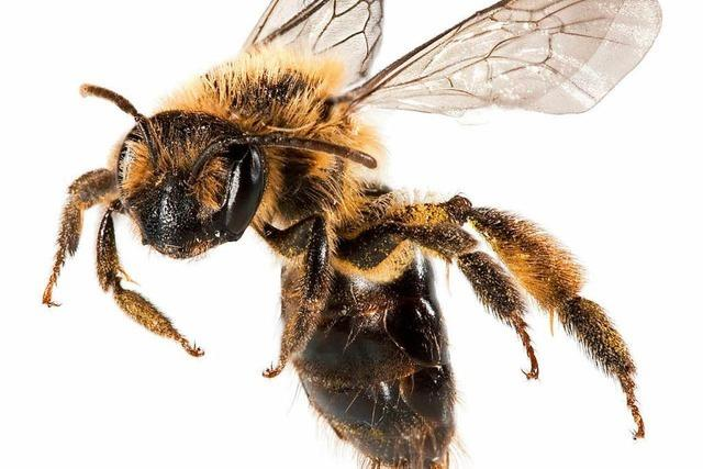 Imker ziehen mit Bienen in die Stadt – wegen Insektiziden