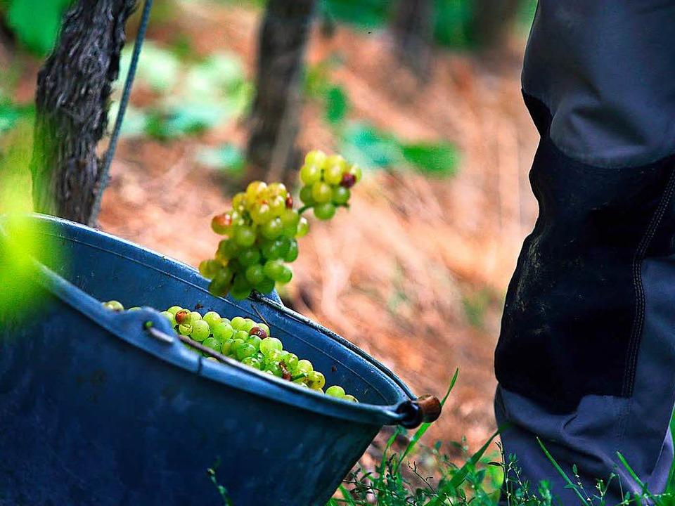 Weinbauverband erwartet qualitativ guten Jahrgang  | Foto: dpa
