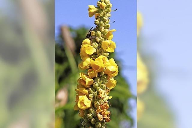Eine Heilpflanze gegen Husten