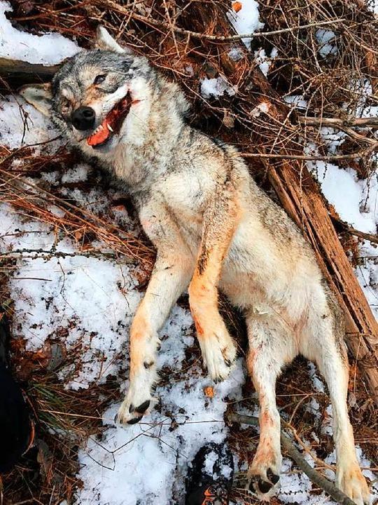 Eine erschossene Wölfin in der Schweiz – ein Fall für die Tierpathologie  | Foto: Kantonspolizei Wallis