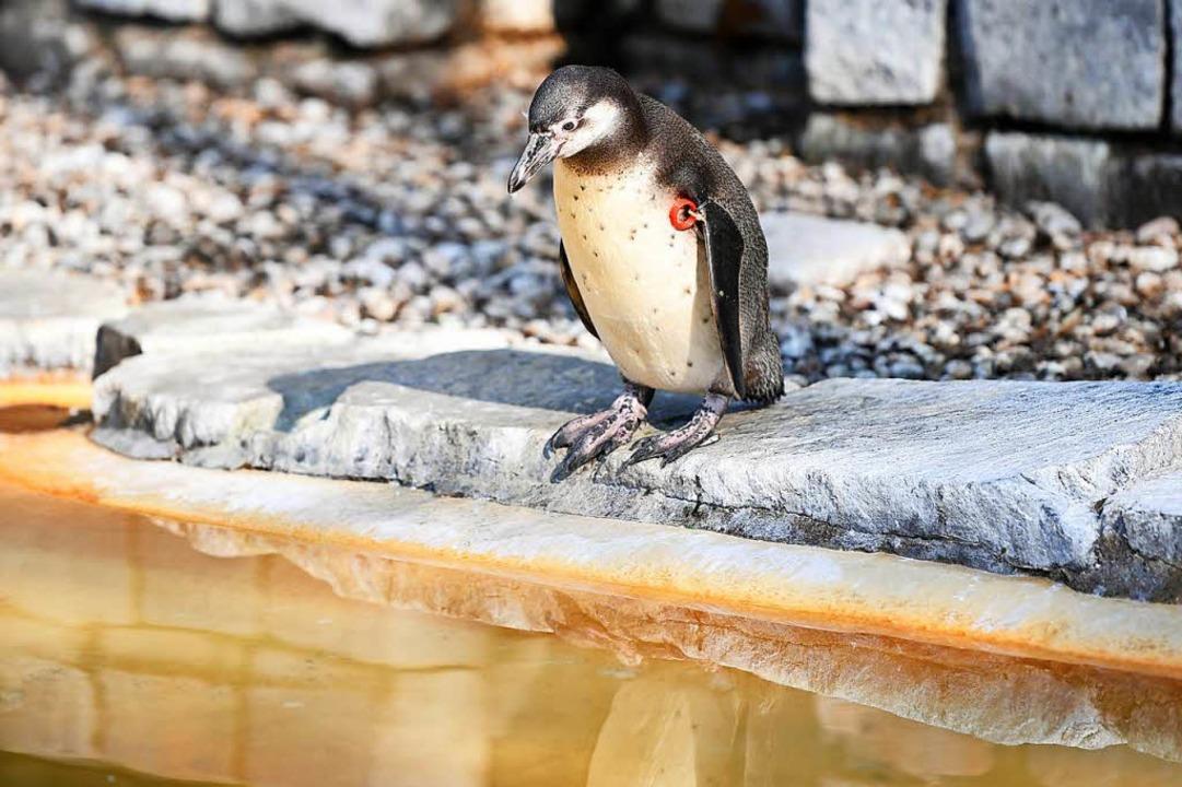 Solch ein Humboldt-Pinguin wurde im Ma... auf einem Parkplatz  tot aufgefunden.  | Foto: dpa
