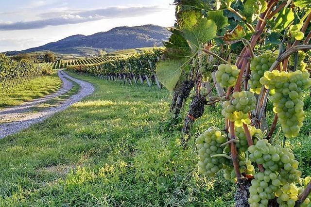 Kaiserstühler Weine feiern Erfolge im internationalen Vergleich