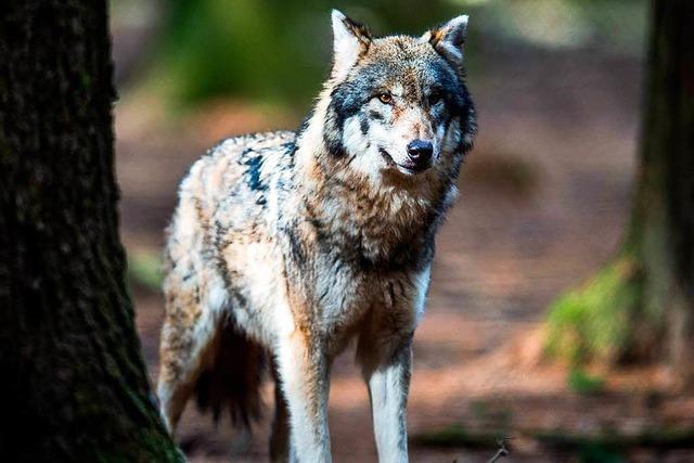 Wölfe brechen in Bayern aus Gehege aus