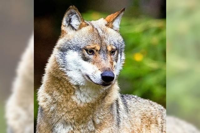 Aus Gehege ausgebrochener Wolf erschossen