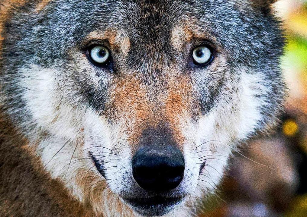 Warum lösen Wölfe oft heftige emotionale Diskussionen aus?  | Foto: dpa