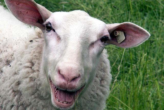 Bauantrag für Stall vertagt: Sorge wegen blökender Schafe