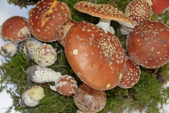 Table Ronde zeigt Pilzausstellung im Triangle im französischen Huningue