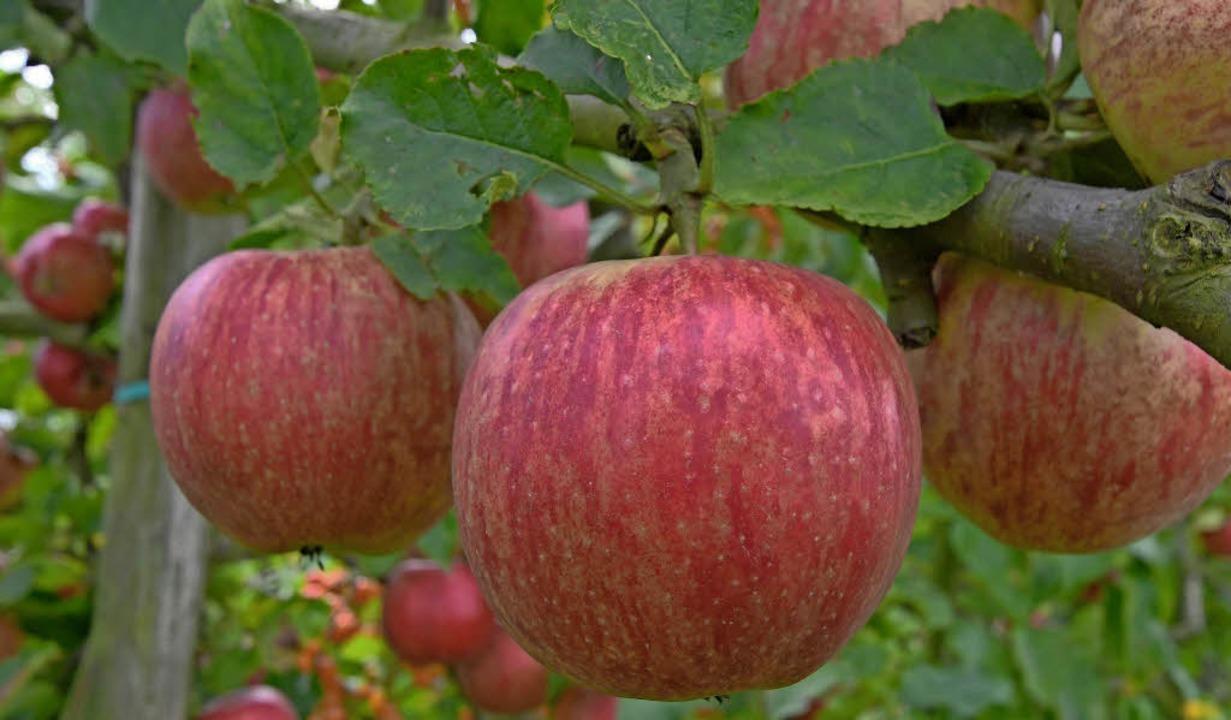 Knackfrisch: Am kommenden Sonntag dreht sich in Laufenburg alles um den Apfel .   | Foto: dpa