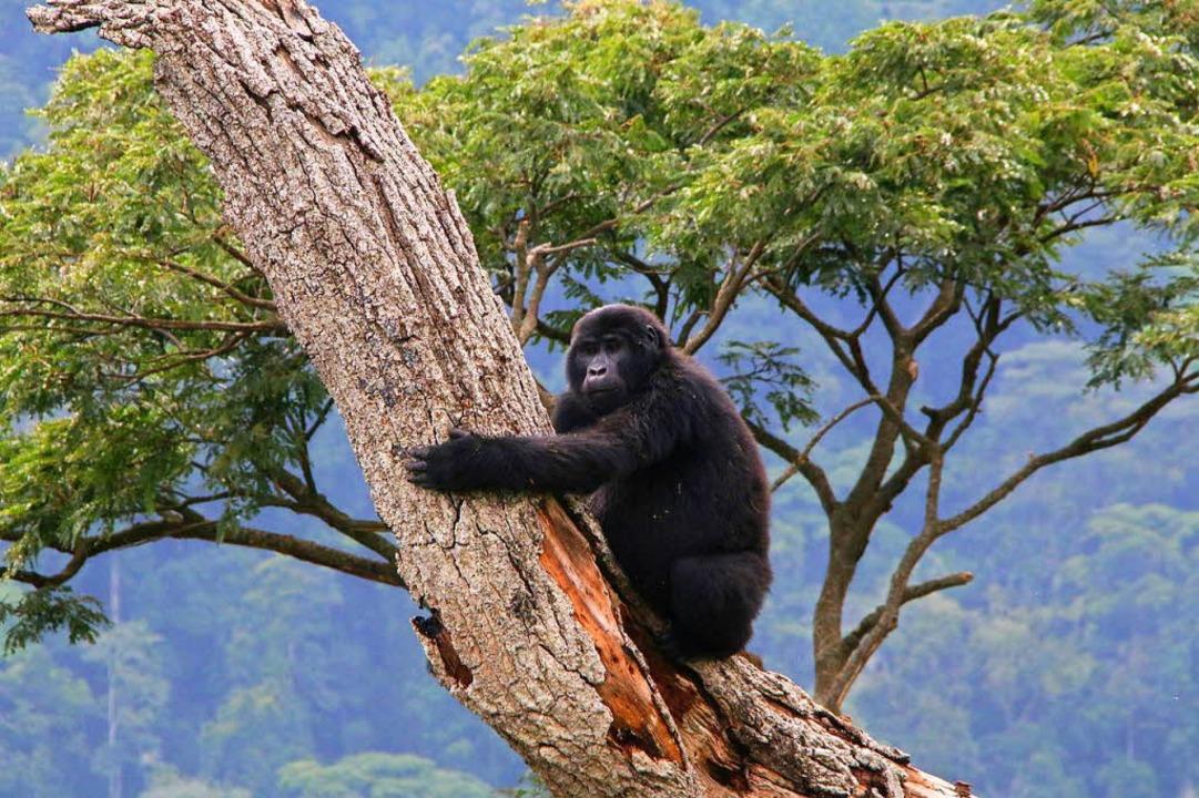 Streng geschützt: Die Population der B... in Ruanda und Uganda hat sich erholt.  | Foto: Winfried Schumacher
