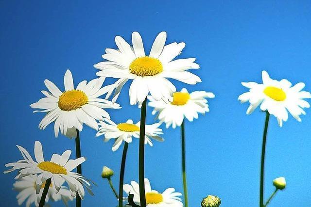Älterer Herr verschenkt in Lörrach Blumen an Autofahrer