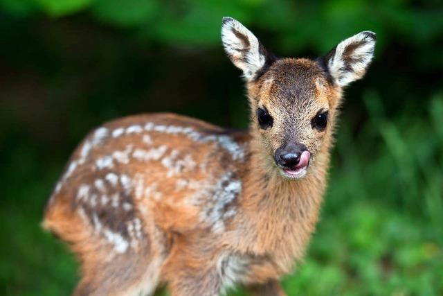 Schüsse im Wald: Treibt ein Wilderer in Feldberg sein Unwesen?