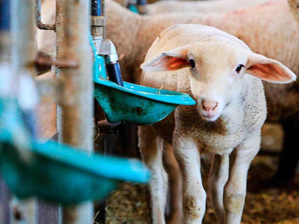 Schafe gucken drollig. Doch Hirten verdienen wenig Geld mit ihnen.  | Foto: Patrik Müller