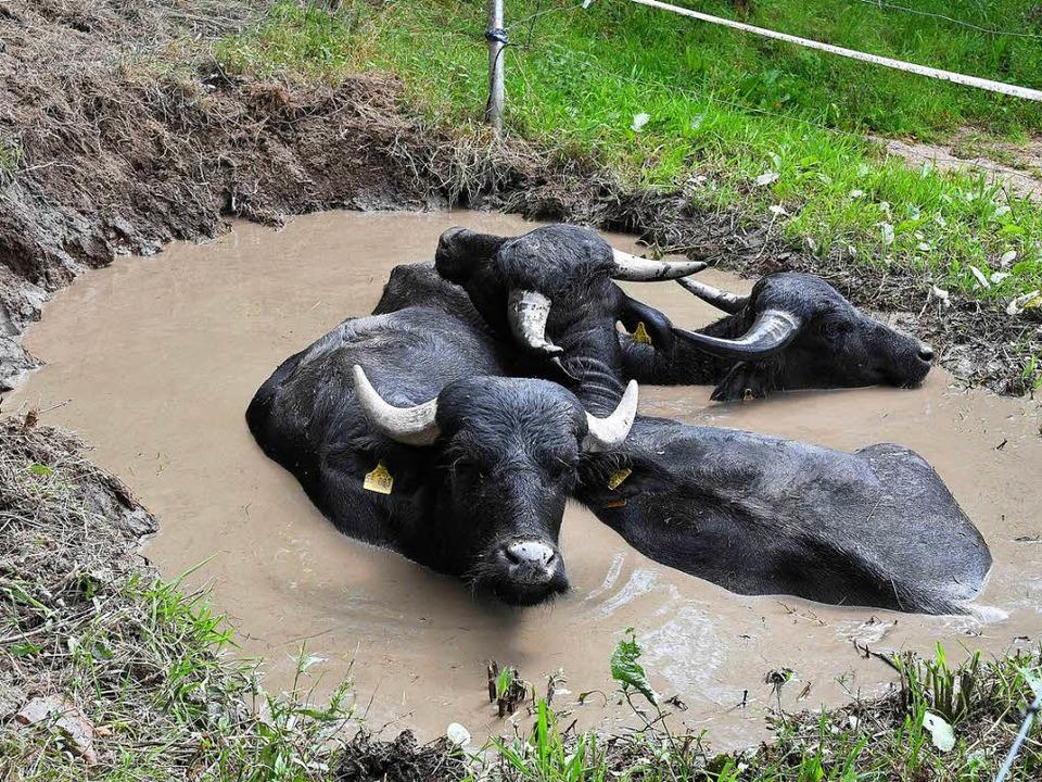 Elvis, Mauritius und Ulf suhlen sich bei Hitze gerne im Schlamm.   | Foto: Berthold Gallinat