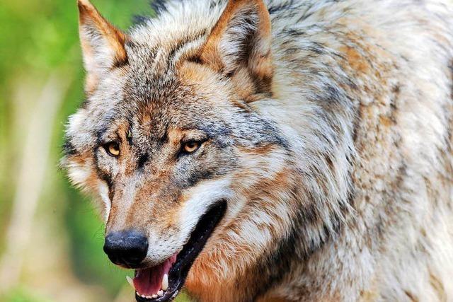 Zum ersten Mal seit 100 Jahren: Wolf reißt drei Lämmer