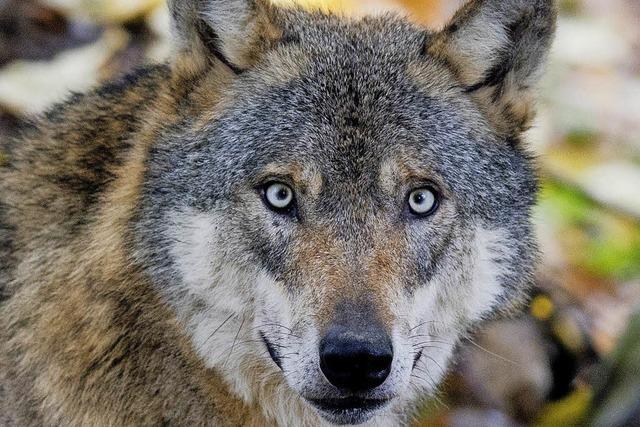 Der Wolf ist zurück - und verängstigt die Menschen hierzulande