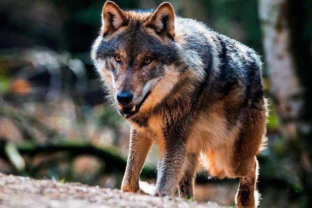 Nicht Hund, nicht Wolf: Kommen sechs Mischlinge auf Abschussliste?