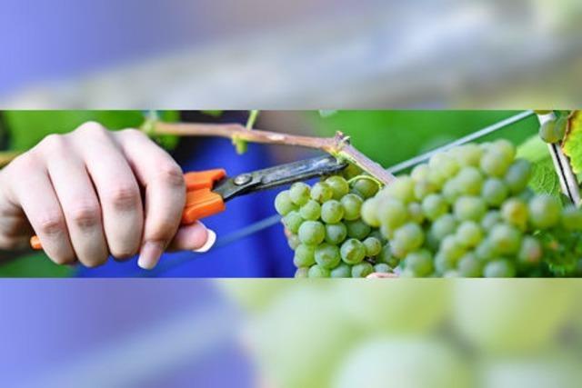 Niedrigste Weinproduktion seit mehr als 50 Jahren