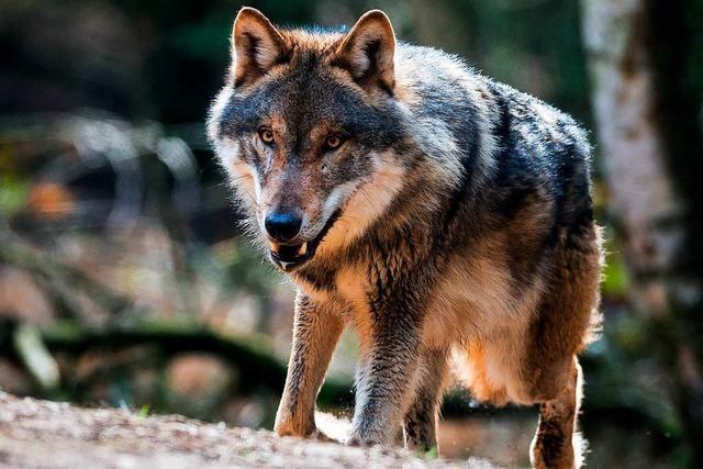 Landtag holt Expertenrat zur Rückkehr des Wolfes ein