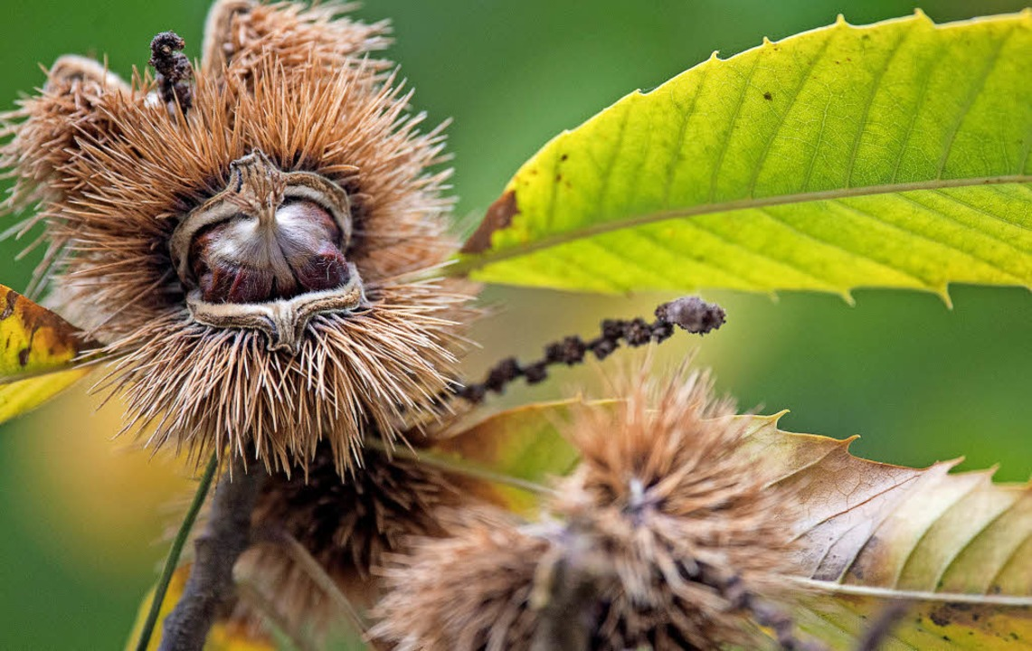 An den braunen und der sehr stacheligen Hülle erkennt man die  Esskastanie.   | Foto: dpa/karepa(Adobe.com)