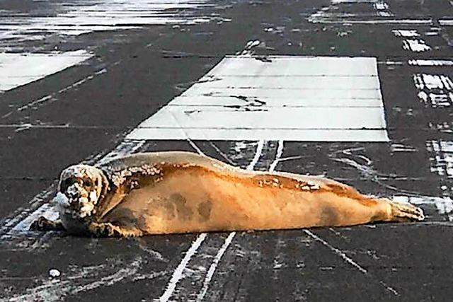 Robbe blockiert Flug-Landebahn in Alaska