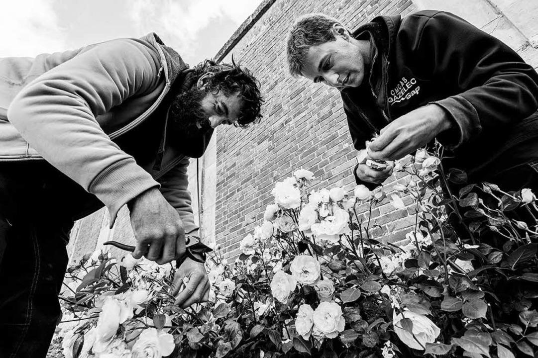 Behutsam: zwei Mitarbeiter beim Rosenschneiden  | Foto: -