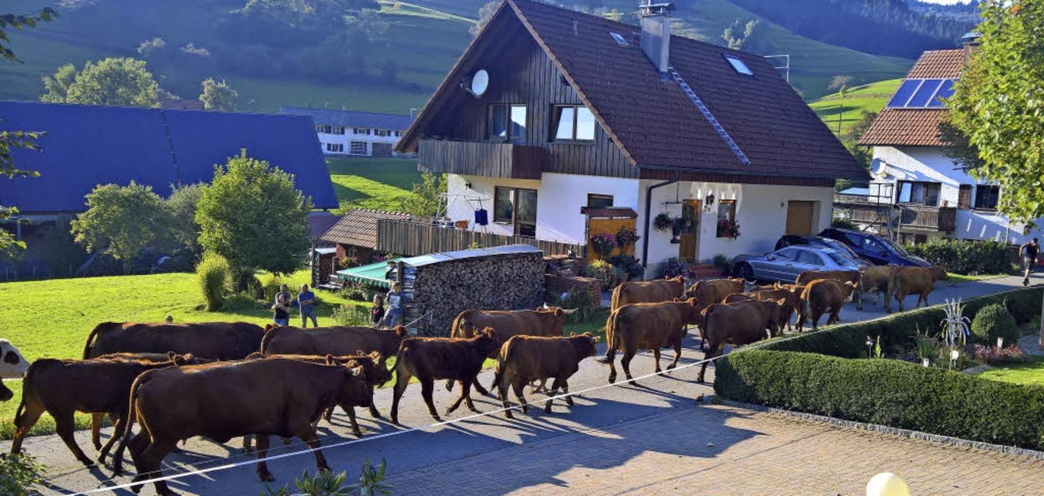 Weidetiere - hier wird gerade die Herd...ehören zum Ortsbild imOberen Kandertal  | Foto: Rolf-Dieter Kanmacher