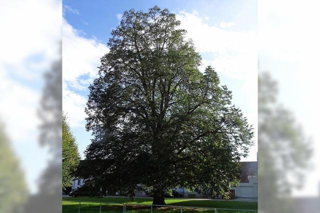 Stattlicher Gedenkbaum