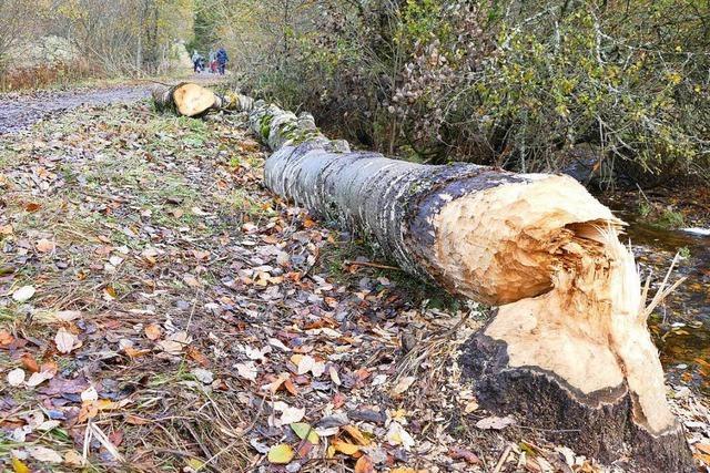 Baum kracht auf Wanderweg in Falkau – Biber sind Schuld