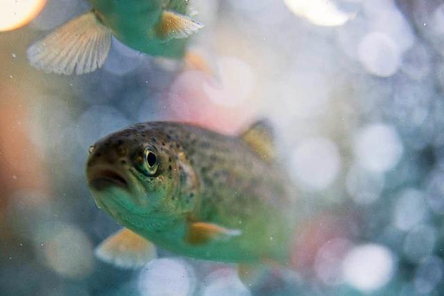 Hunderte Forellen gestohlen