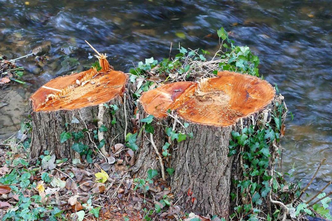 Am Klemmbach in Müllheim mussten zahlr... nicht bei allen Bäumen nötig gewesen.    Foto: A. Huber