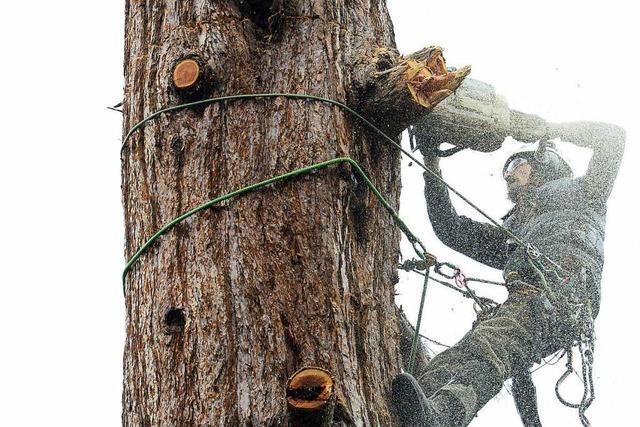 Stadt fällt am Seepark 31 Mammutbäume