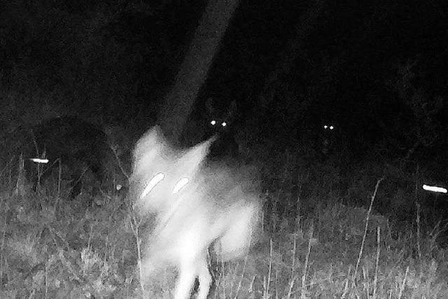 Wolfsmischlinge sollen nicht getötet werden – mit einer Ausnahme